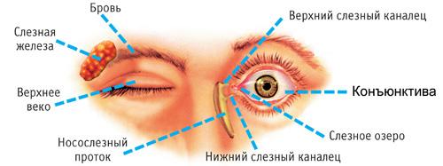 Схема глаза, расположение Конъюнктивы