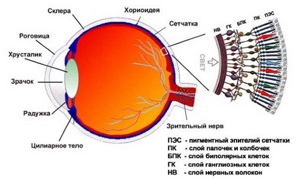Анатомическое строение глаза человека